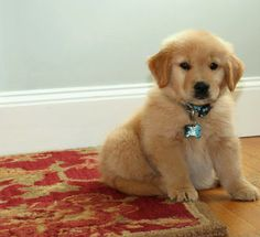 Clyde at 8 weeks--nothing fluffier and cuddlier than a golden retriever puppy!