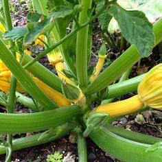 """My first time ever growing squash/vegetables, I only receive 6 hours of sun in my #apartmentgarden usually from 11am-5pm. I thought I didn't have enough…"""