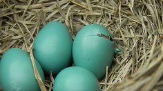 Cận cảnh chim non đang nở từ trứng