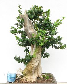 Indoor Bonsai, Bonsai Plants, Bonsai Garden, Bonsai Tree Care, Asian Landscape, Bonsai Styles, Pot Plante, Ficus, Tree Art