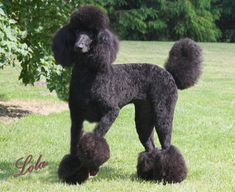 standard poodles | Countryside Standard Poodles of Michigan » Referrals