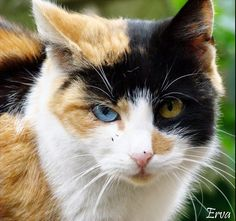 cat with heterochromia iridum