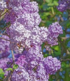 Lilac bushes are known for their beautiful purple flowers and fragrance.and towering height. Learn how to prune lilac bushes with Blain's Farm & Fleet. Prune Lilac Bush, Lilac Bushes, April Showers, Purple Flowers, Gardening Tips, Garden Design, Pergola, Projects To Try, Backyard