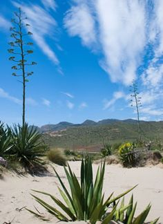 The agave plant - adorning the landscapes of Almeria