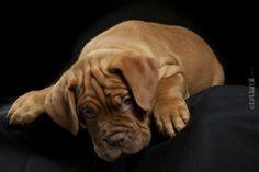 Dogue de Bordeaux Puppy www.bridarolli.com