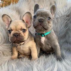 Are you one of the lovers of the pug or the French-Sind Sie einer der Liebhaber des Mops oder der französischen Bulldogge? Wenn Si… Are you one of the pug or french bulldog lovers? If you do, then our onli … - French Bulldog Clothes, Cute French Bulldog, French Bulldog Puppies, French Bulldogs, Cute Baby Dogs, Cute Dogs And Puppies, Doggies, Cute Little Animals, Cute Funny Animals