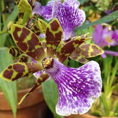 Botanical Gardens, Orchid Detail. Balboa Park, San Diego, CA