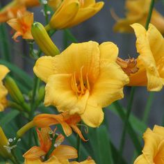 Yellow Lilies-front yard flower beds-
