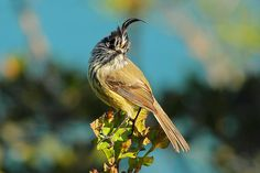 aves de Chile: Cachudito / foto: Hernán Morales Paredes