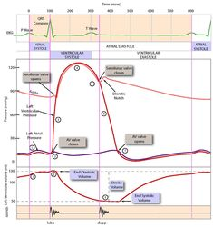 Wiggers diagram wiggers diagram wikipedia the free encyclopedia cardiac cycle ccuart Gallery