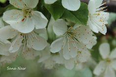 photos fleur de cerisier Plants, Photos, Cherry Blossom, Flowers, Pictures, Photographs, Flora, Plant, Cake Smash Pictures