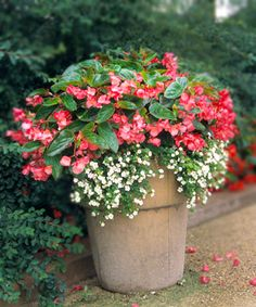 Mary, someone just gave me 5 red bacopa plants! I love them and am looking for planter ideas or maybe I'll just add them to a flower bed. Two Plant Simplicity: Dragon Wing Begonia, Bacopa Container Flowers, Container Plants, Container Gardening, Beautiful Gardens, Beautiful Flowers, Indoor Gardening Supplies, Garden Urns, Pot Plante, Gardens