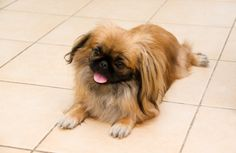 How to Get a Picky Dog to Eat – Feeding the Fussy Pekingese