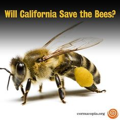 Will California Save The Bees? Read More Here: http://www.cornucopia.org/2013/10/will-california-save-bees