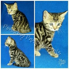 Bengal Kittens For Sale, Kitten For Sale, Cats And Kittens, Silver Bengal, Photo Gold, Cattery, Pets, Animals, Animales