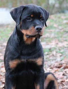 """Learn additional information on """"Rottweiler puppies"""". Take a look at our web site. Dog Training Methods, Dog Training Techniques, Best Dog Training, German Rottweiler Puppies, Rottweiler Love, Australian Shepherds, German Shepherds, West Highland Terrier, Scottish Terrier"""