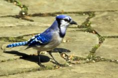 Blue Jay looking for trouble