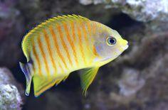 Tigerpyge Saltwater Fish Tanks, Saltwater Aquarium, Saltwater Fishing, Marine Aquarium, Marine Fish, Colorful Fish, Tropical Fish, Mandarin Fish, Beautiful Sea Creatures