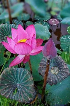 Water Flowers, Water Lilies, Lotus Flowers, Delphinium, Exotic Flowers, Beautiful Flowers, Lotus Flower Wallpaper, Lotus Flower Pictures, Lotus Garden