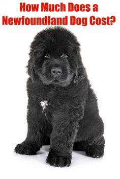 The average cost of a Newfoundland dog from a responsible breeder will normally range from $1,200-$3,000, but this is just the intial cost. Raising a healthy Newfie will cost much more. #newfoundlanddog #newfie #newfoundlandpuppy #bigdog Newfoundland Puppies, Puppies Tips, The Perfect Dog, Purebred Dogs, Dog Care Tips, Big Dogs, Dog Friends, Cute Pictures, Your Dog