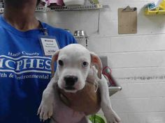 NO LONGER LISTED ●9•29•16 SL●This DOG - ID#A468963 - URGENT - Harris County Animal Shelter in Houston, Texas - ADOPT OR FOSTER - 6 WEEK OLD Female Boxer - at the shelter since Sep 23, 2016.