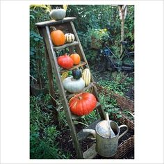 GAP Photos - Garden  Plant Picture Library - Pumpkins and squash on old wooden ladder - GAP Photos - Specialising in horticultural photography