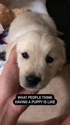 Expectation V/S Reality check ✔   golden labrador retriever   