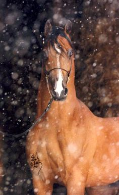 Fairview Klassique Multiple National Champion   (Amir El Shaklan x Kreoluka by Silver Scenario) 1987 Bay Stallion