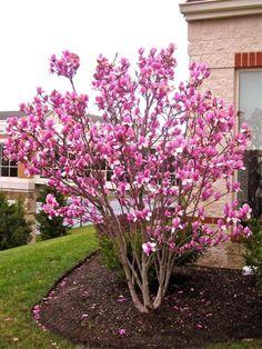 Tulpenbaum mit prachtvollen rosafarbenen Blüten im Vorgarten