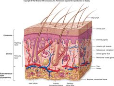 Integumentary system anatomy and physiology (skin anatomy) skin development, function, medical application, histological structures of layers of skin Skin Structure, Structure And Function, Skin Anatomy, Human Anatomy, Human Integumentary System, Human Eye Diagram, Sensory Nerves, Nerve Fiber, Teaching Biology