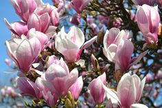 Magnolia x Soulangiana blooming in Magnolia Plaza at Brooklyn Botanic Garden. Photo by Elizabeth Peters.