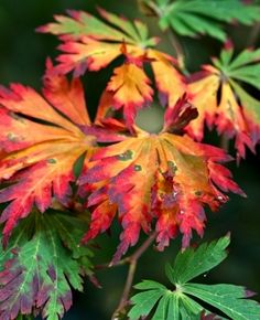 1000 Images About Dwarf Japanese Maple On Pinterest