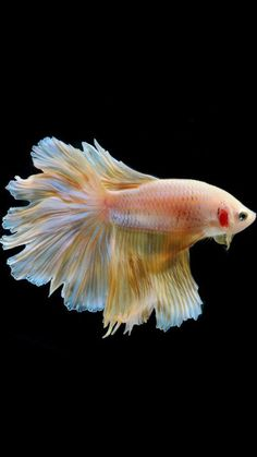 33 Best Beauty Images In 2020 Fish Wallpaper Betta Fish Betta