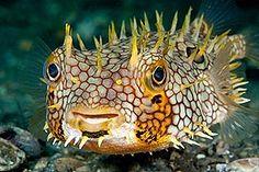 Susan Mears, Florida  Web Burrfish, Chilomycterus antillarum  Lake Worth Lagoon, Riviera Beach, FL #puffer #fish