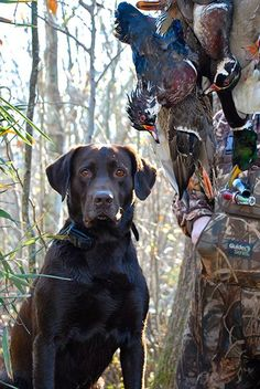Hudson, a chocolate Labrador retriever from Huntsville, Alabama.
