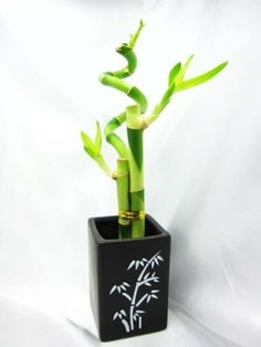 9GreenBox - Live Spiral 3 Style Lucky Bamboo Plant Arrangement with Ceramic Vase