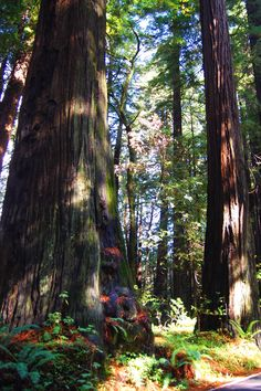 Humbolt County, Redwood Forest