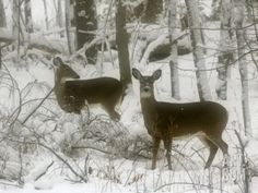 Two White-Tail Deer Stop for a Moment Photographic Print at Art.com