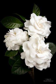 Gardênia, minha rosa errada, doce e perfumada, minha flor preferida!
