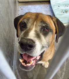 A4639995 my name is Steve. I am a friendly 9 yr old male brown/white Bullmastiff mix. I came to the shelter as a stray on October 5. Very nice boy -- and he sings  Baldwin Park shelter Open for Adoptions 7 days a Week 4275 Elton Street, Baldwin Park, California 91706 Phone 626 430 2378  https://www.facebook.com/photo.php?fbid=668978256447348&set=a.223317921013386.67258.100000055391837&type=3&theater