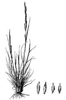 Texas Willkommia (Willkommia texana). USDA-NRCS PLANTS Database / Hitchcock, A.S. (rev. A. Chase). 1950. Manual of the grasses of the United States. USDA Miscellaneous Publication No. 200. Washington, DC.
