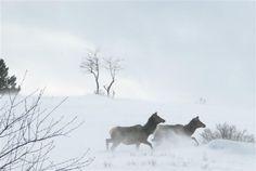 snow elk