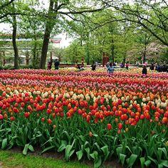 More tulips.  More more more.  #travel #netherlands #holland #keukenhof #flowers #floweradmirer #tulips #tulipgarden #pinktulips #nofilter #scenery #green #garden #beautiful #orangetulips #redtulips by amcdangerfield