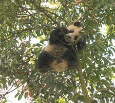 Hao Hao at the Bifengxia Panda Base in China. © Giant Panda Friends International.