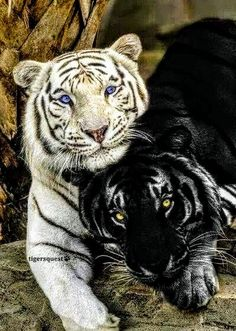 White Tiger and Black Panther - two of my favorite big cats Cute Baby Animals, Animals And Pets, Funny Animals, Nature Animals, Wild Life Animals, Big Animals, Strange Animals, Wildlife Nature, Farm Animals