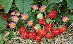 Pflanzen, Düngen und Schneiden: Pflege-Kalender für Erdbeeren - Aus eigenem Anbau schmecken Erdbeeren am besten! Schon Ende April reifen die ersten süßen Früchte, und mit mehrmals tragenden Sorten dauert die Ernte bis Oktober. Hier finden Sie einen Pflege-Kalender für alle wichtigen Arbeiten: vom Düngen bis zum Schneiden.