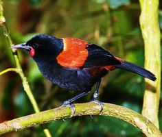 The Saddleback or Tieke (Philesturnus carunculatus) is a previously rare and endangered New Zealand bird of the family Callaeidae. Cute Birds, Pretty Birds, Beautiful Birds, Animals Beautiful, Exotic Birds, Colorful Birds, Exotic Pets, Birds In The Sky, Kinds Of Birds