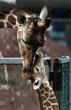 A baby giraffe and her mother nuzzle each other in their enclosure at The Tama Zoological Park in Tokyo. The baby giraffe was born on August 6 at the zoo. See photos of another baby giraffe born earlier this month in Germany. Beautiful Creatures, Animals Beautiful, Cute Baby Animals, Animals And Pets, Funny Animals, Wild Animals, Animal Tracks, Cute Animal Videos, Tier Fotos