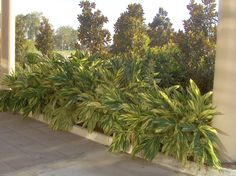 Online Plant Guide - Alpinia zerumbet 'Variegata' / Variegated Shell Ginger: Heavy planting in a protected planter from winter freezes