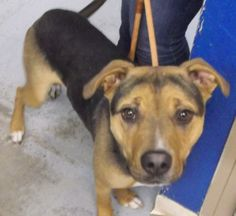 Hi I'm Nicky, I was brought into the shelter as a stray and now I am looking for my forever home. Where I will be loved, hopefully by a family with older kids so that I can have someone to run and play with. I am a very active dog who would do well...
